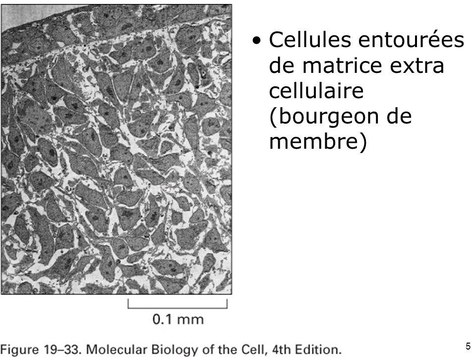36 Exemple de héparane sulfate protéoglycanne –Les chaînes dhéparane sulfate protéoglycanne se lient au FGF (Fibroblast Growth Factor) –Oligomérisation (des molécules de facteurs de croissance) –Liaison et activation de leurs récepteurs de surface qui sont des tyrosine kinases transmembranaires –Stimulation de la prolifération de certaines cellules