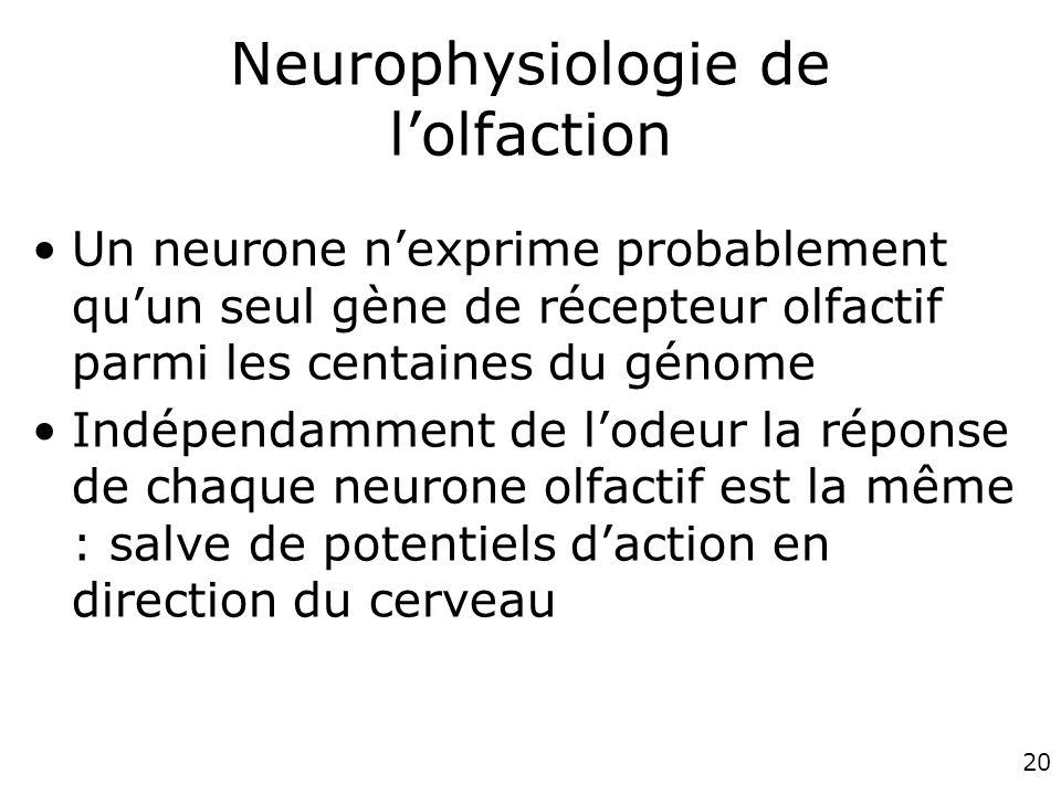 20 Neurophysiologie de lolfaction Un neurone nexprime probablement quun seul gène de récepteur olfactif parmi les centaines du génome Indépendamment de lodeur la réponse de chaque neurone olfactif est la même : salve de potentiels daction en direction du cerveau