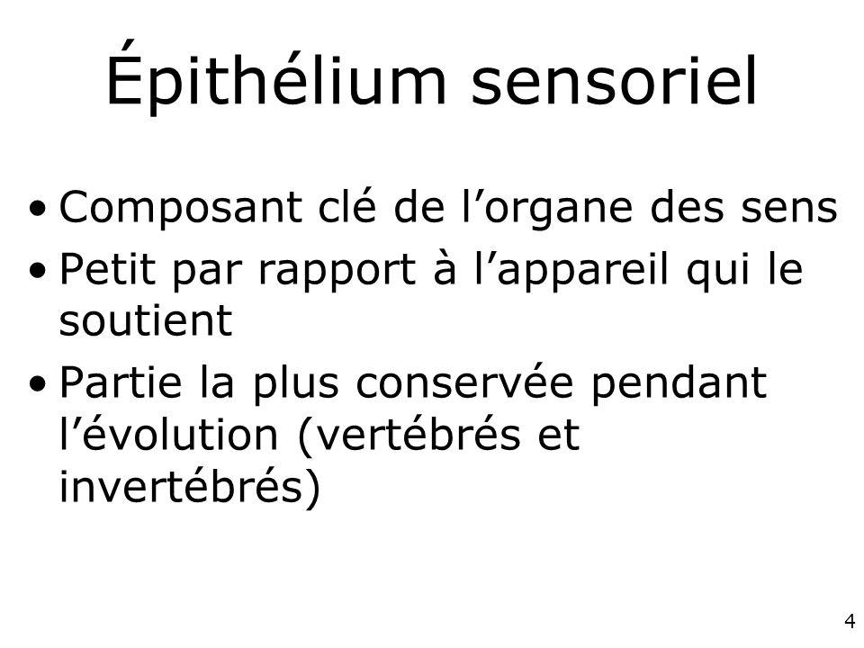4 Épithélium sensoriel Composant clé de lorgane des sens Petit par rapport à lappareil qui le soutient Partie la plus conservée pendant lévolution (vertébrés et invertébrés)