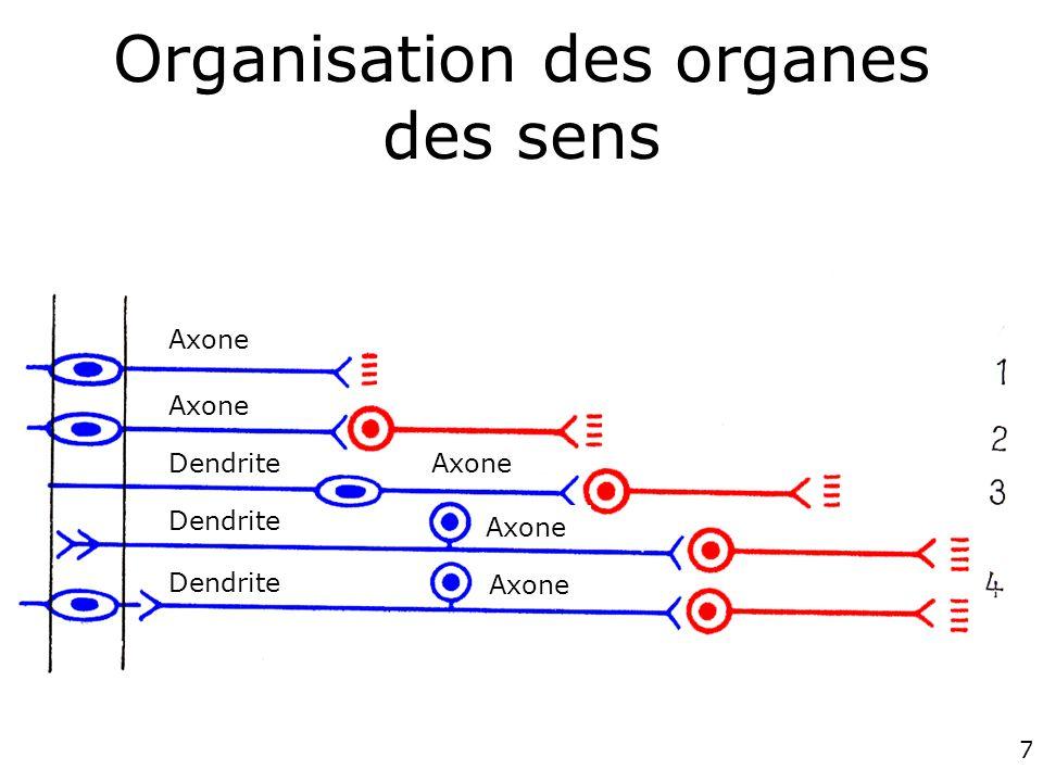 7 Organisation des organes des sens Axone Dendrite