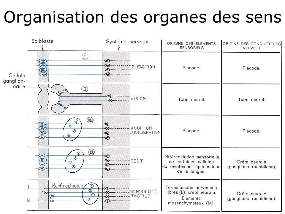 8 Organisation des organes des sens