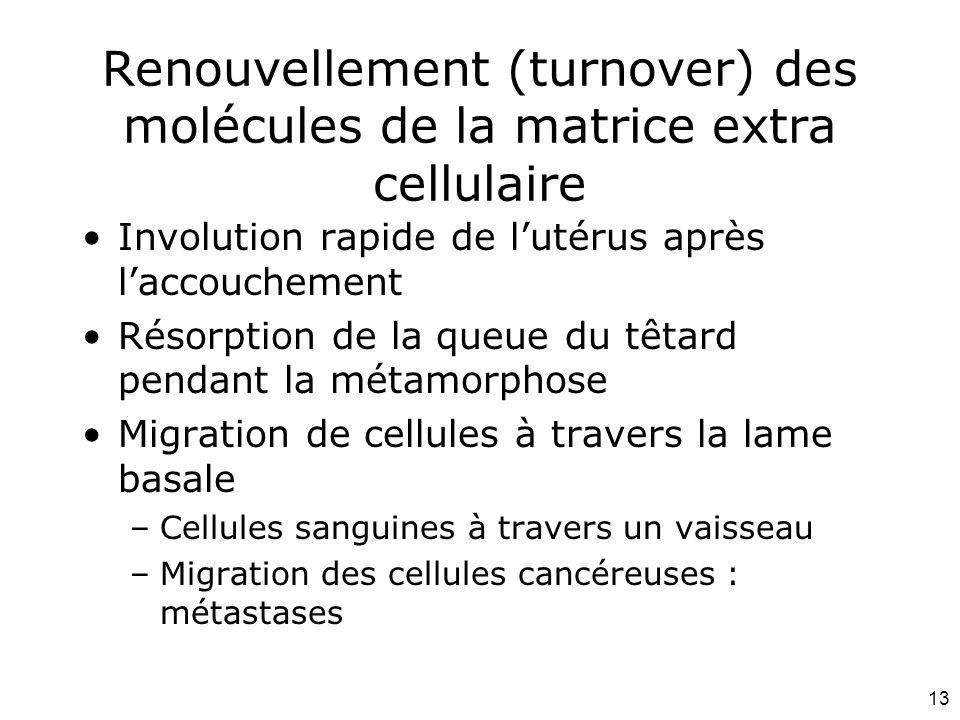 13 Renouvellement (turnover) des molécules de la matrice extra cellulaire Involution rapide de lutérus après laccouchement Résorption de la queue du t