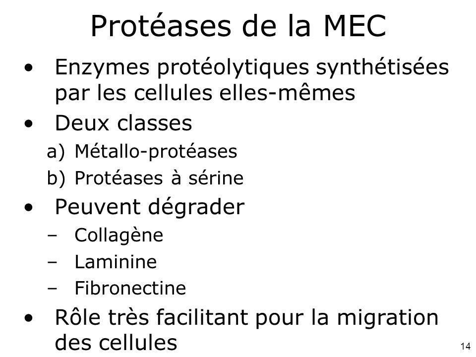 14 Enzymes protéolytiques synthétisées par les cellules elles-mêmes Deux classes a)Métallo-protéases b)Protéases à sérine Peuvent dégrader –Collagène