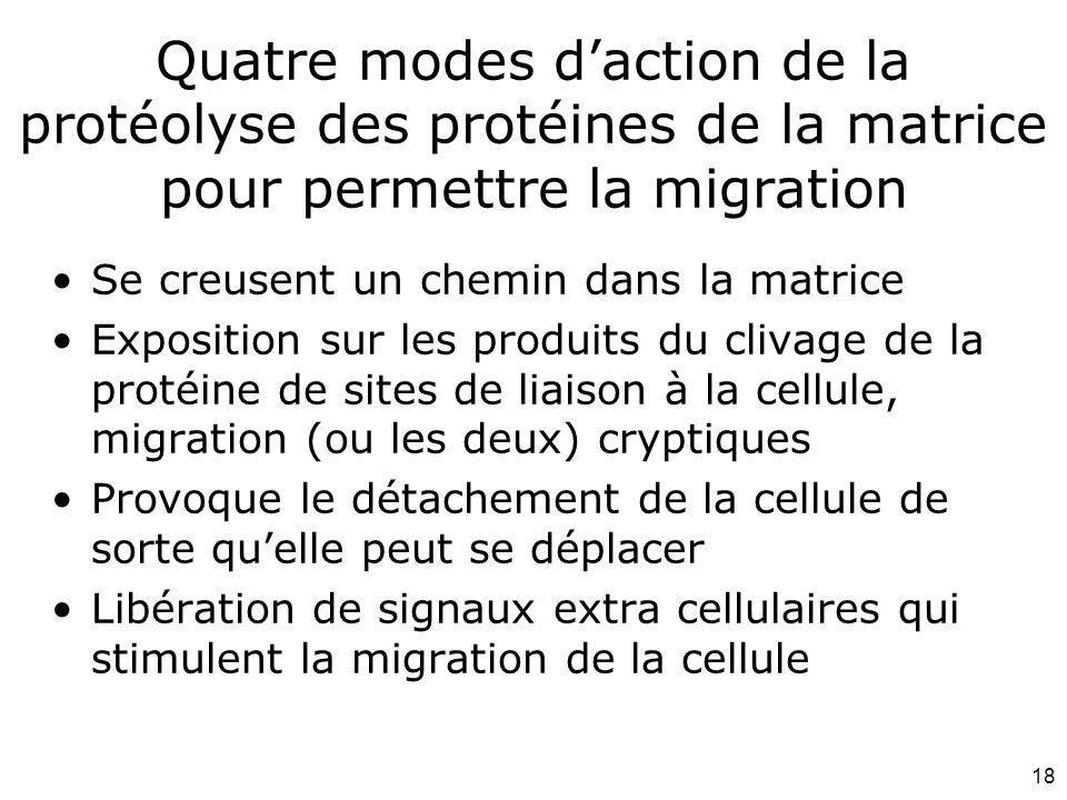 18 Quatre modes daction de la protéolyse des protéines de la matrice pour permettre la migration Se creusent un chemin dans la matrice Exposition sur