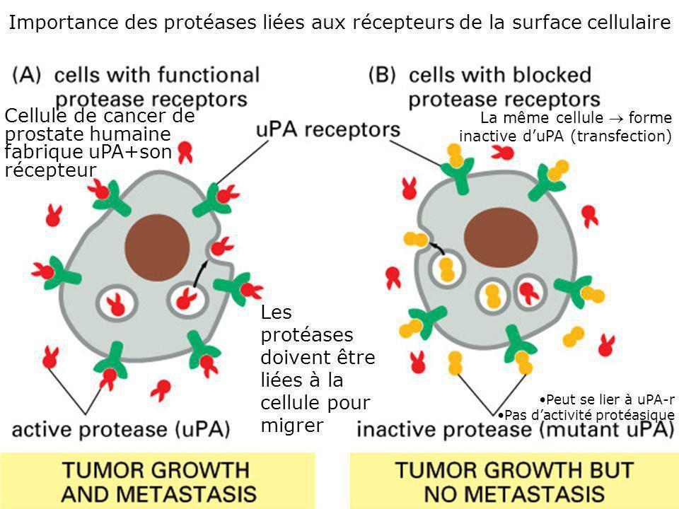 28 Fig 19-63 Importance des protéases liées aux récepteurs de la surface cellulaire Cellule de cancer de prostate humaine fabrique uPA+son récepteur L