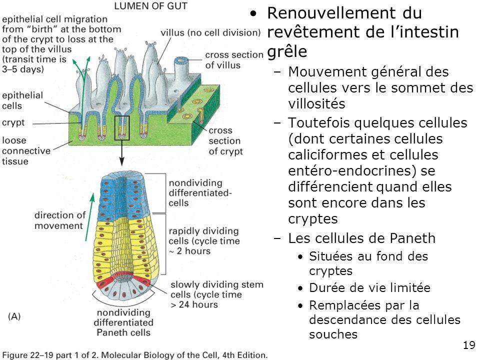 19 Fig 22-19 A Renouvellement du revêtement de lintestin grêle –Mouvement général des cellules vers le sommet des villosités –Toutefois quelques cellu