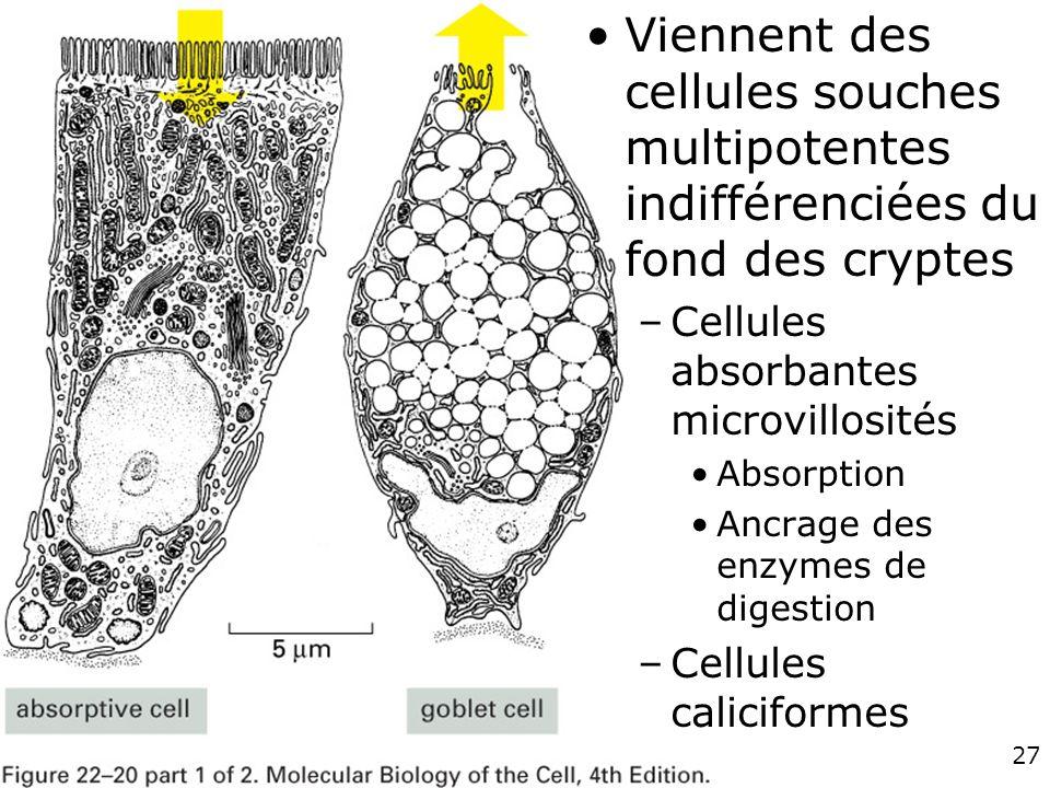 27 Fig 22-20 A Viennent des cellules souches multipotentes indifférenciées du fond des cryptes –Cellules absorbantes microvillosités Absorption Ancrag