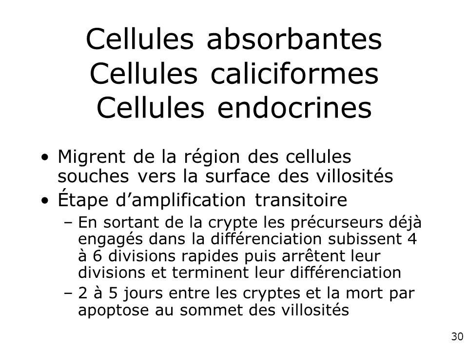 30 Cellules absorbantes Cellules caliciformes Cellules endocrines Migrent de la région des cellules souches vers la surface des villosités Étape dampl