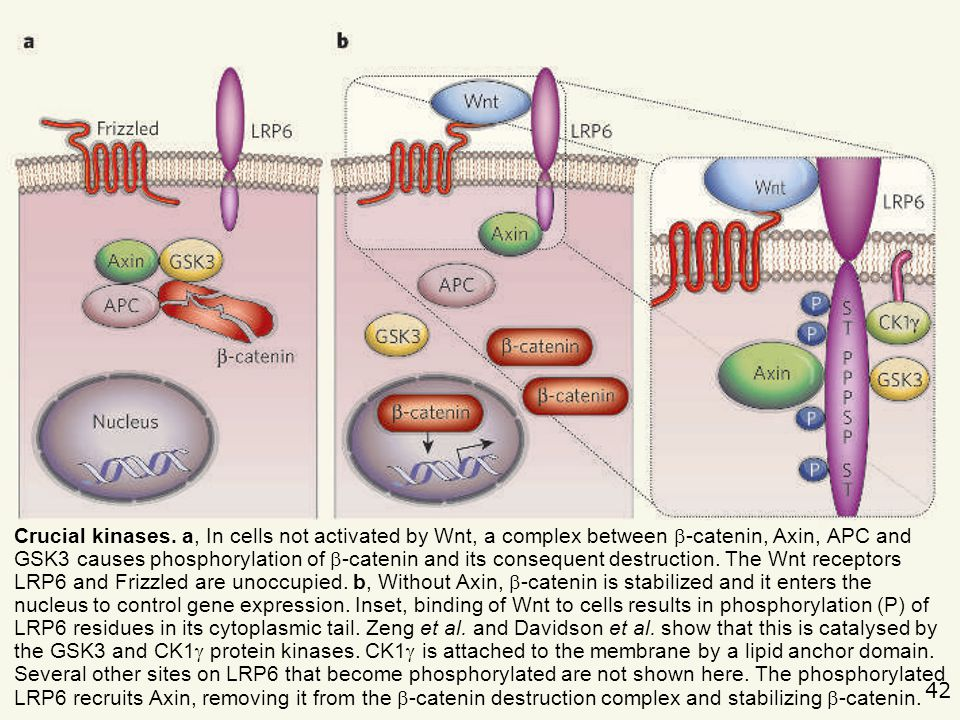 42 Nusse,R2005p747 Cell biology: relays at the membrane. Nature. 2005, 438(7069):747-9. Crucial kinases. a, In cells not activated by Wnt, a complex b