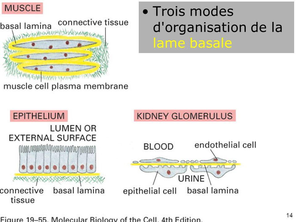 14 Fig 19-55 Trois modes d'organisation de la lame basale