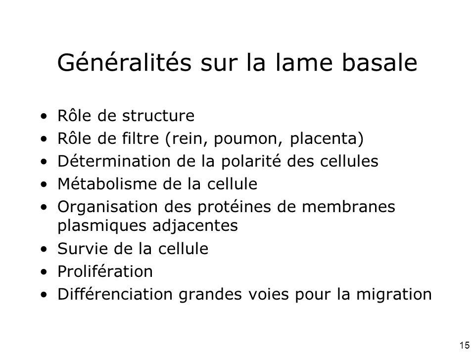 15 Généralités sur la lame basale Rôle de structure Rôle de filtre (rein, poumon, placenta) Détermination de la polarité des cellules Métabolisme de l