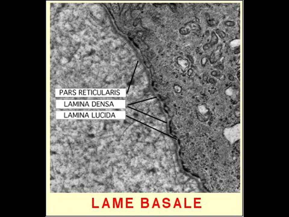 19 Lame basale en microscopie électronique