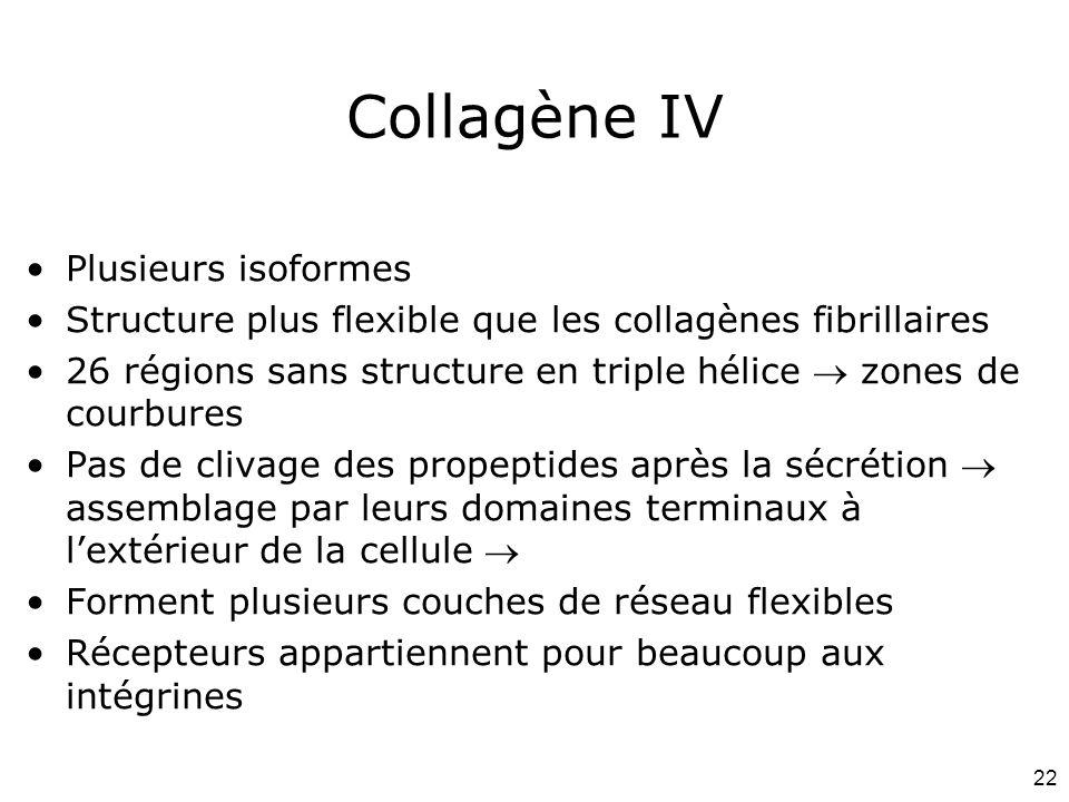 22 Collagène IV Plusieurs isoformes Structure plus flexible que les collagènes fibrillaires 26 régions sans structure en triple hélice zones de courbu