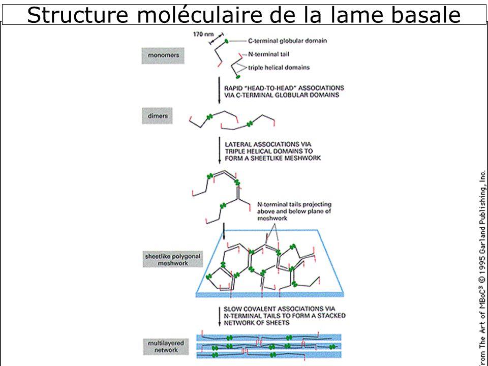 23 Structure moléculaire de la lame basale