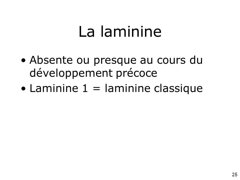 25 La laminine Absente ou presque au cours du développement précoce Laminine 1 = laminine classique
