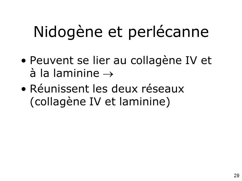 29 Nidogène et perlécanne Peuvent se lier au collagène IV et à la laminine Réunissent les deux réseaux (collagène IV et laminine)