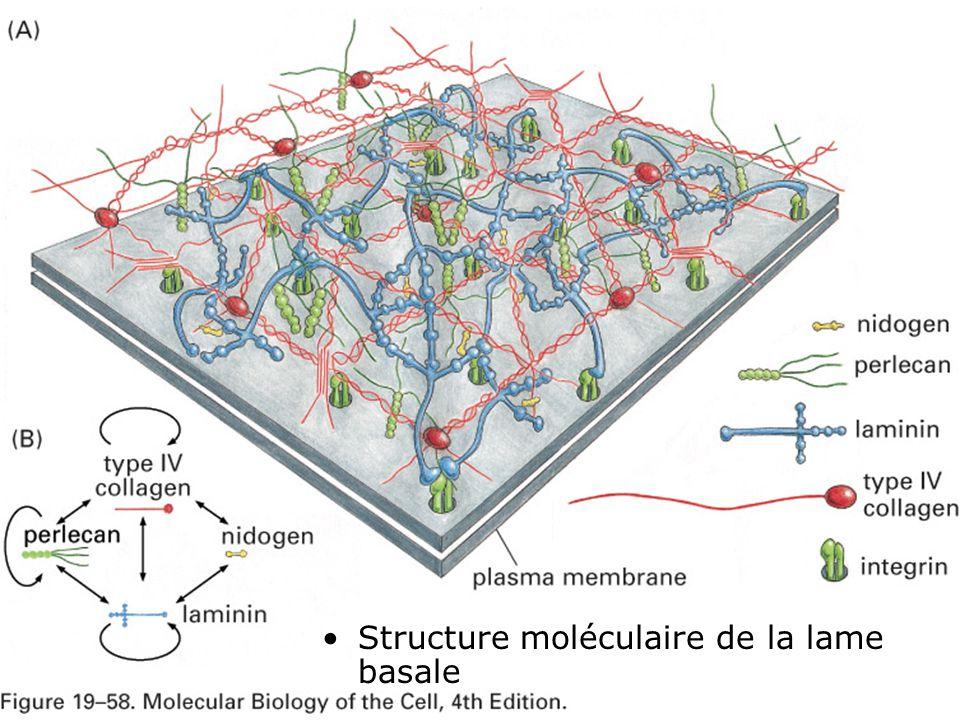 30 Fig 19-58(AB) Structure moléculaire de la lame basale