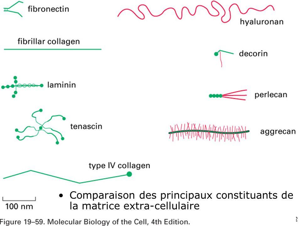 32 Fig 19-59 Comparaison des principaux constituants de la matrice extra-cellulaire
