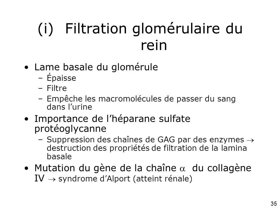 35 (i)Filtration glomérulaire du rein Lame basale du glomérule –Épaisse –Filtre –Empêche les macromolécules de passer du sang dans lurine Importance de lhéparane sulfate protéoglycanne –Suppression des chaînes de GAG par des enzymes destruction des propriétés de filtration de la lamina basale Mutation du gène de la chaîne du collagène IV syndrome dAlport (atteint rénale)