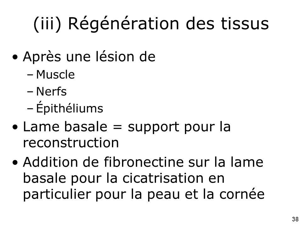 38 (iii) Régénération des tissus Après une lésion de –Muscle –Nerfs –Épithéliums Lame basale = support pour la reconstruction Addition de fibronectine sur la lame basale pour la cicatrisation en particulier pour la peau et la cornée