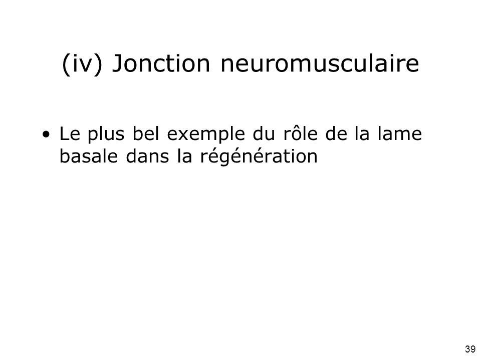 39 (iv) Jonction neuromusculaire Le plus bel exemple du rôle de la lame basale dans la régénération