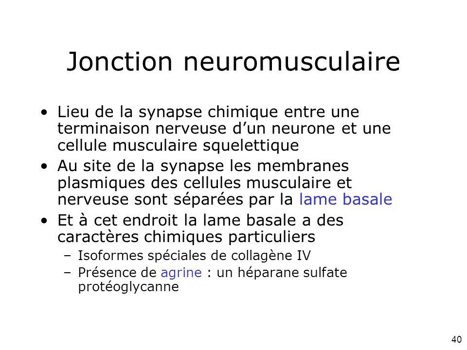 40 Jonction neuromusculaire Lieu de la synapse chimique entre une terminaison nerveuse dun neurone et une cellule musculaire squelettique Au site de la synapse les membranes plasmiques des cellules musculaire et nerveuse sont séparées par la lame basale Et à cet endroit la lame basale a des caractères chimiques particuliers –Isoformes spéciales de collagène IV –Présence de agrine : un héparane sulfate protéoglycanne