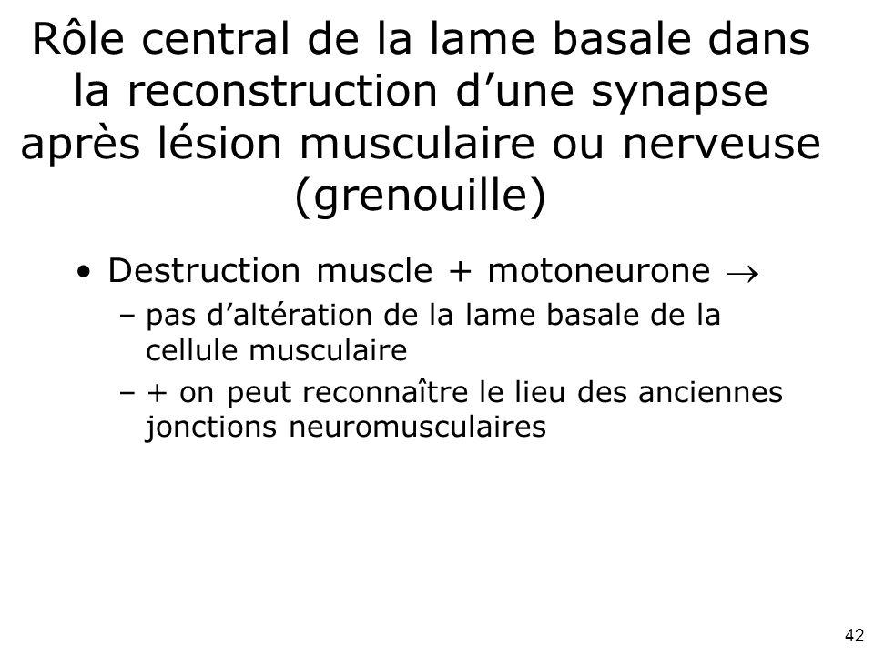 42 Rôle central de la lame basale dans la reconstruction dune synapse après lésion musculaire ou nerveuse (grenouille) Destruction muscle + motoneurone –pas daltération de la lame basale de la cellule musculaire –+ on peut reconnaître le lieu des anciennes jonctions neuromusculaires