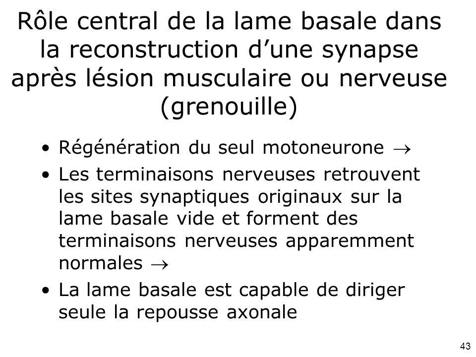 43 Rôle central de la lame basale dans la reconstruction dune synapse après lésion musculaire ou nerveuse (grenouille) Régénération du seul motoneurone Les terminaisons nerveuses retrouvent les sites synaptiques originaux sur la lame basale vide et forment des terminaisons nerveuses apparemment normales La lame basale est capable de diriger seule la repousse axonale