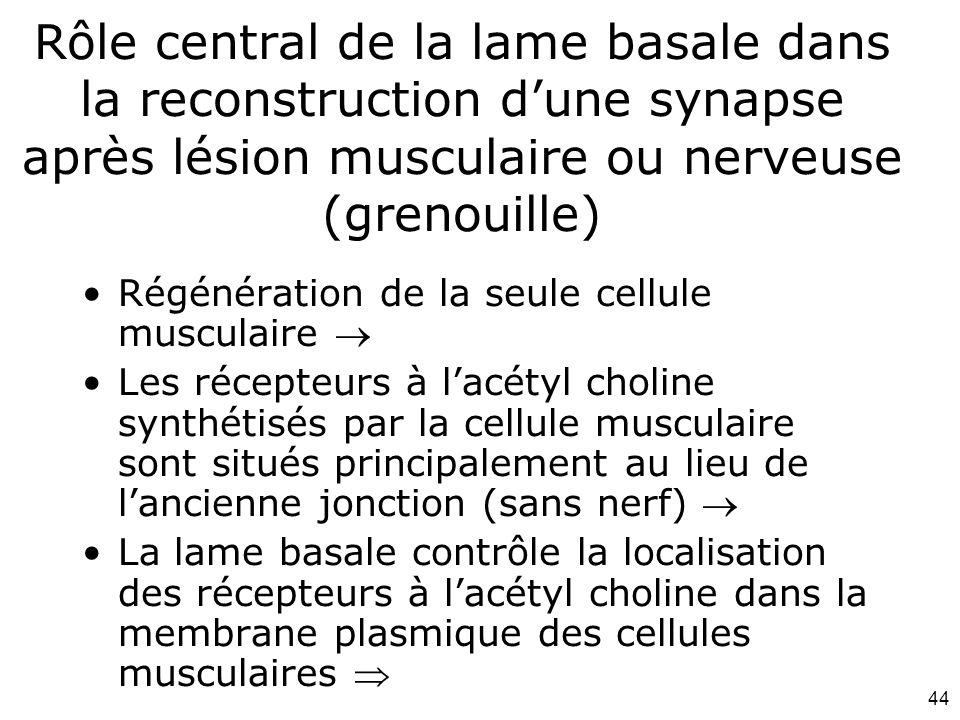 44 Rôle central de la lame basale dans la reconstruction dune synapse après lésion musculaire ou nerveuse (grenouille) Régénération de la seule cellule musculaire Les récepteurs à lacétyl choline synthétisés par la cellule musculaire sont situés principalement au lieu de lancienne jonction (sans nerf) La lame basale contrôle la localisation des récepteurs à lacétyl choline dans la membrane plasmique des cellules musculaires