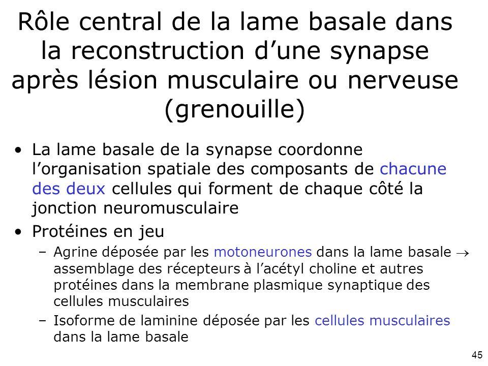 45 Rôle central de la lame basale dans la reconstruction dune synapse après lésion musculaire ou nerveuse (grenouille) La lame basale de la synapse coordonne lorganisation spatiale des composants de chacune des deux cellules qui forment de chaque côté la jonction neuromusculaire Protéines en jeu –Agrine déposée par les motoneurones dans la lame basale assemblage des récepteurs à lacétyl choline et autres protéines dans la membrane plasmique synaptique des cellules musculaires –Isoforme de laminine déposée par les cellules musculaires dans la lame basale
