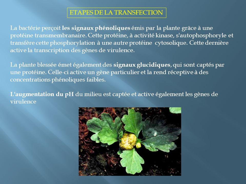 ETAPES DE LA TRANSFECTION La bactérie perçoit les signaux phénoliques émis par la plante grâce à une protéine transmembranaire. Cette protéine, à acti