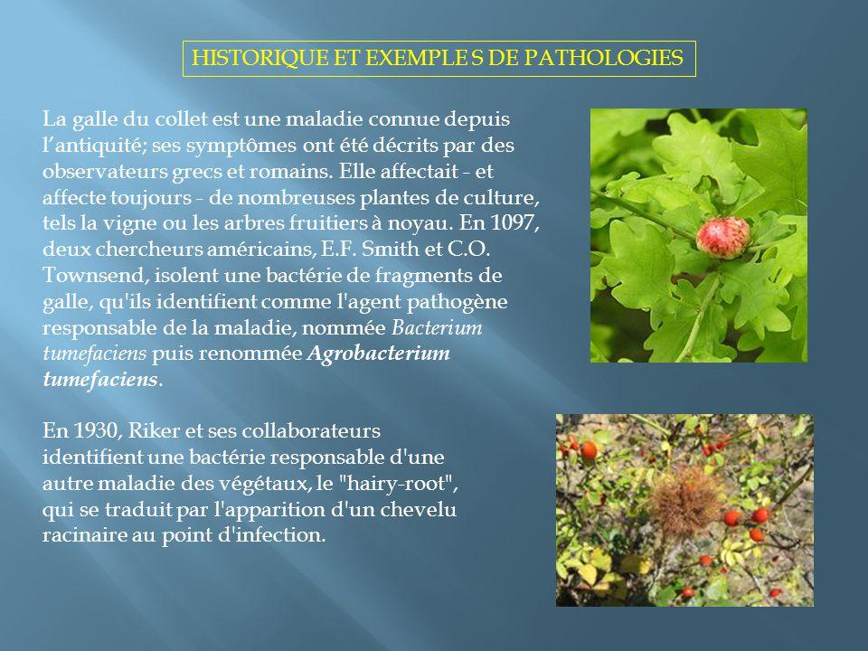 La galle du collet est une maladie connue depuis lantiquité; ses symptômes ont été décrits par des observateurs grecs et romains. Elle affectait - et