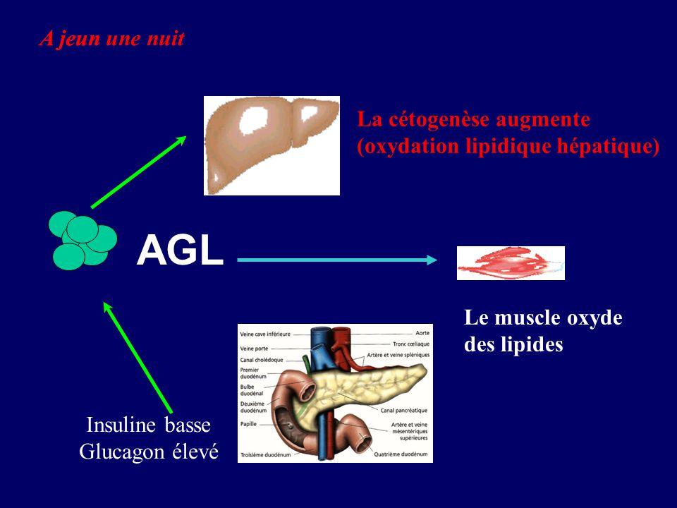 AGL Insuline basse Glucagon élevé La cétogenèse augmente (oxydation lipidique hépatique) A jeun Le muscle oxyde des lipides A jeun une nuit