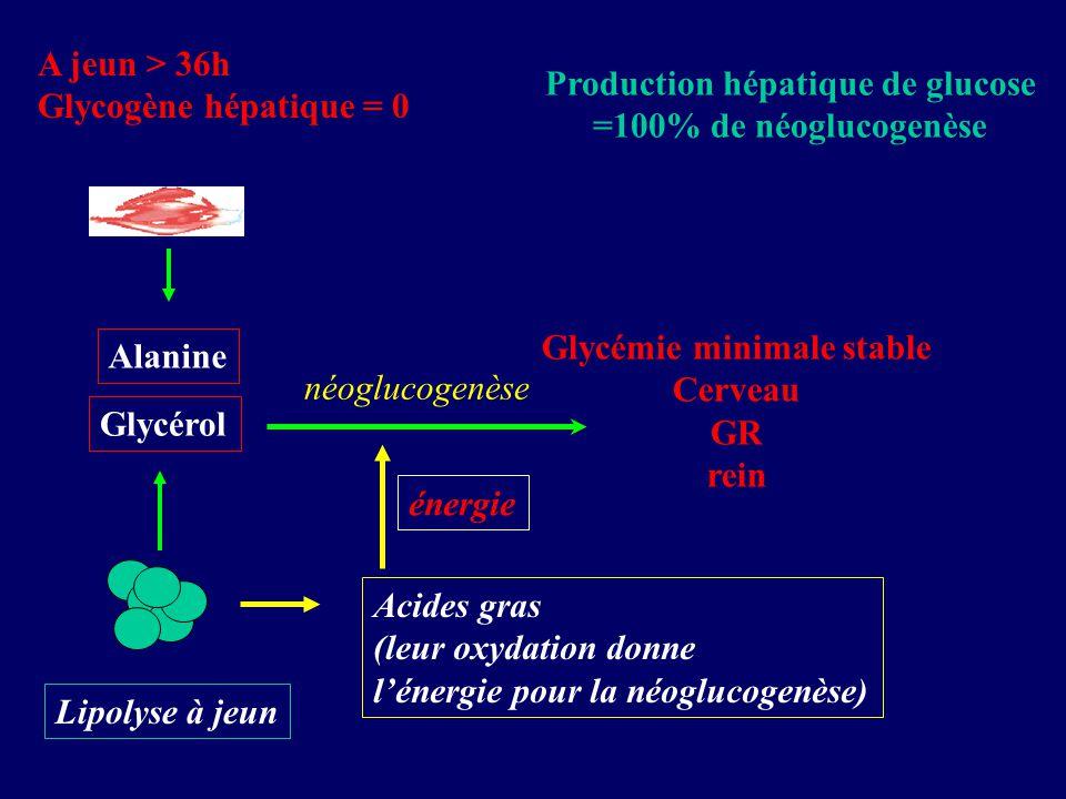 Production hépatique de glucose =100% de néoglucogenèse A jeun > 36h Glycogène hépatique = 0 Glycémie minimale stable Cerveau GR rein Glycérol Alanine