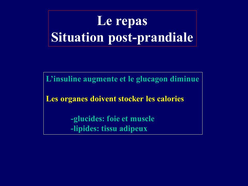 Le repas Situation post-prandiale Linsuline augmente et le glucagon diminue Les organes doivent stocker les calories -glucides: foie et muscle -lipide