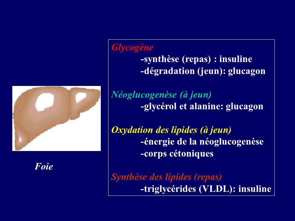 Glycogène -synthèse (repas) : insuline -dégradation (jeun): glucagon Néoglucogenèse (à jeun) -glycérol et alanine: glucagon Oxydation des lipides (à j