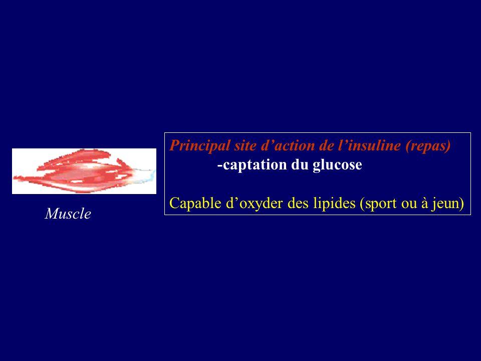 Muscle Principal site daction de linsuline (repas) -captation du glucose Capable doxyder des lipides (sport ou à jeun)