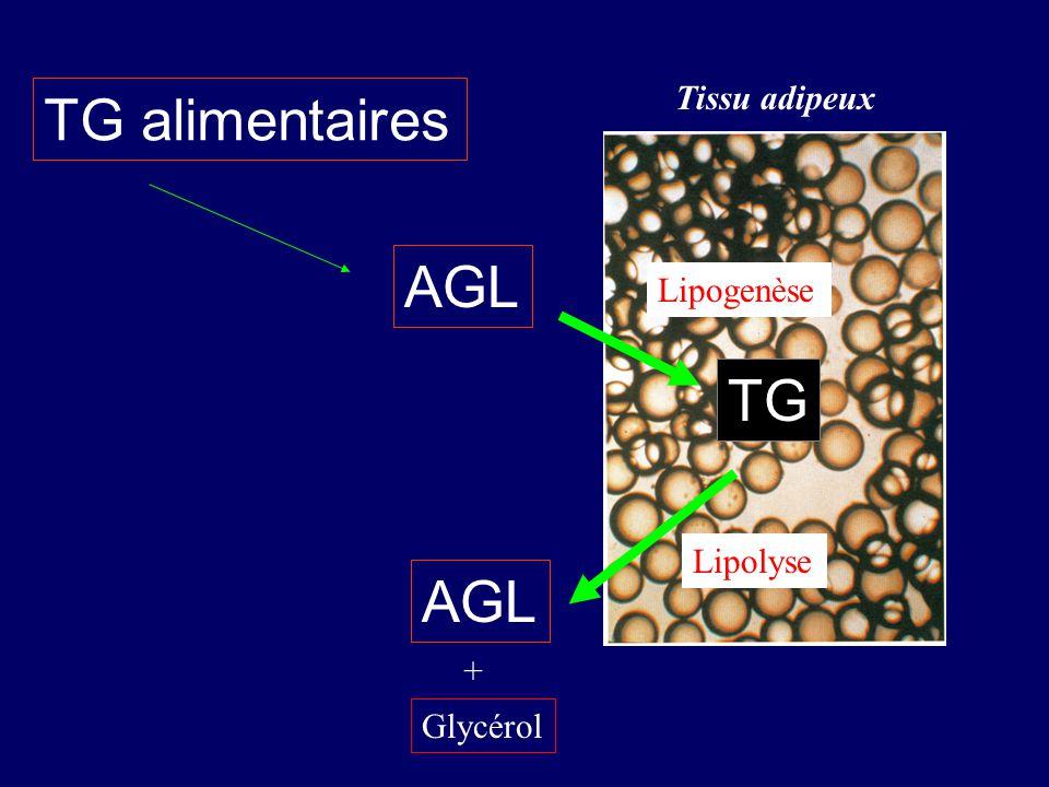 TG alimentaires AGL TG AGL Lipogenèse Lipolyse Glycérol + Tissu adipeux