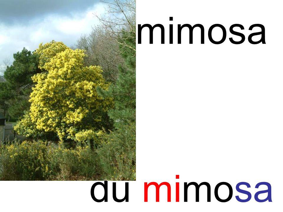 mi mimosa du mimosa