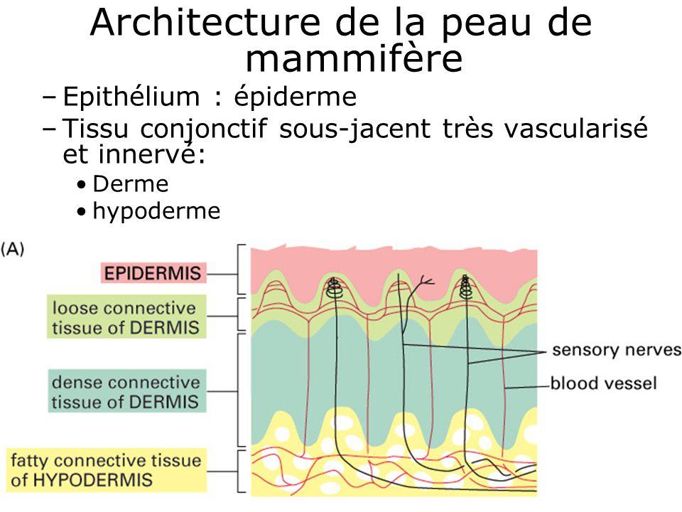 17 Fig 22-1 A Architecture de la peau de mammifère –Epithélium : épiderme –Tissu conjonctif sous-jacent très vascularisé et innervé: Derme hypoderme