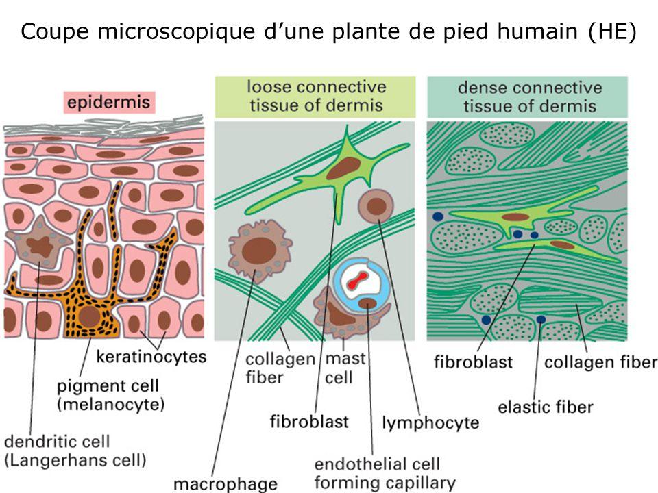 19 Fig 22-1 B Coupe microscopique dune plante de pied humain (HE)