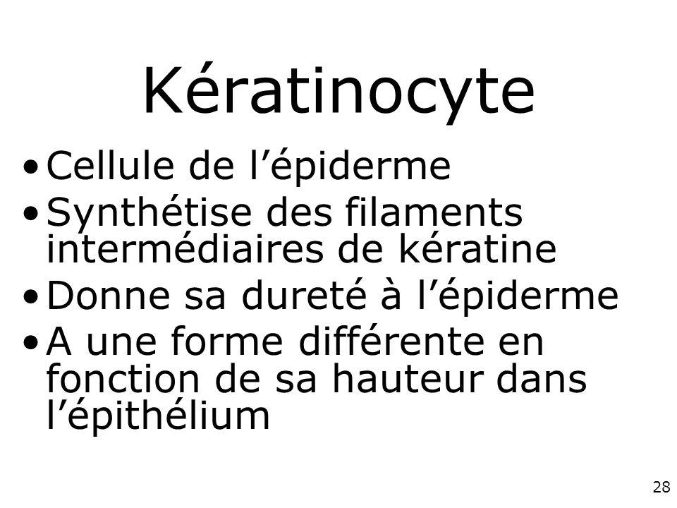 28 Kératinocyte Cellule de lépiderme Synthétise des filaments intermédiaires de kératine Donne sa dureté à lépiderme A une forme différente en fonction de sa hauteur dans lépithélium