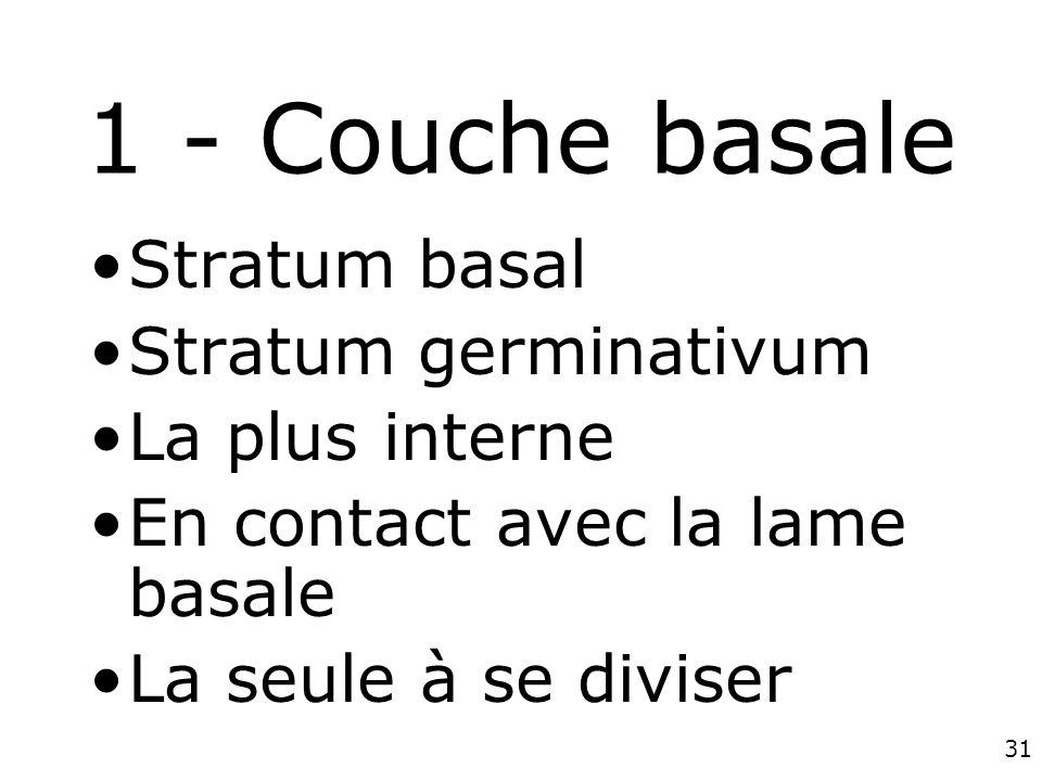 31 1 - Couche basale Stratum basal Stratum germinativum La plus interne En contact avec la lame basale La seule à se diviser