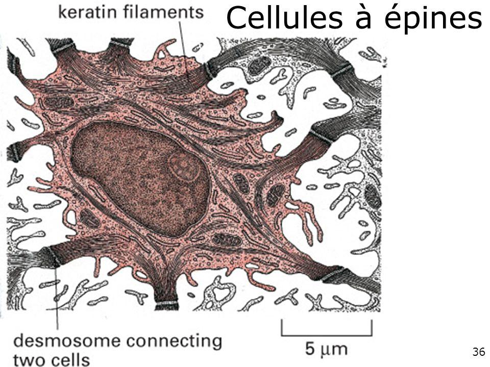 36 Cellules à épines