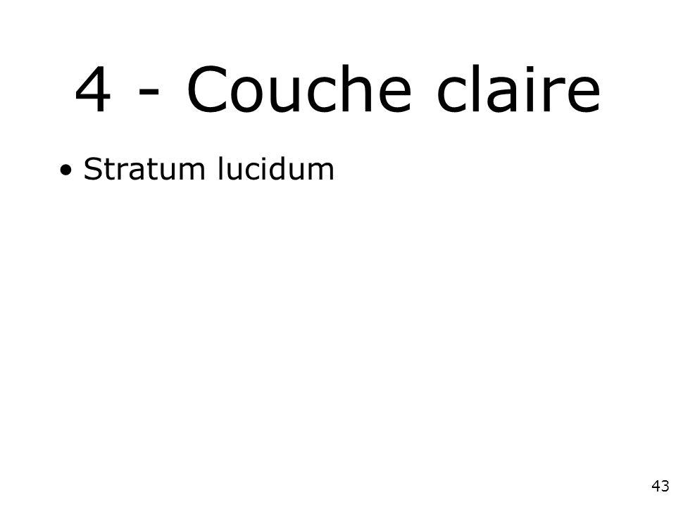 43 4 - Couche claire Stratum lucidum
