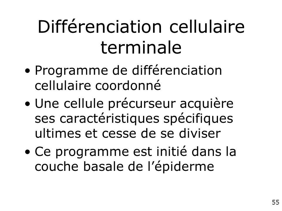 55 Différenciation cellulaire terminale Programme de différenciation cellulaire coordonné Une cellule précurseur acquière ses caractéristiques spécifiques ultimes et cesse de se diviser Ce programme est initié dans la couche basale de lépiderme