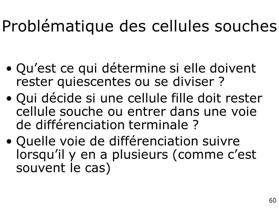 60 Problématique des cellules souches Quest ce qui détermine si elle doivent rester quiescentes ou se diviser .