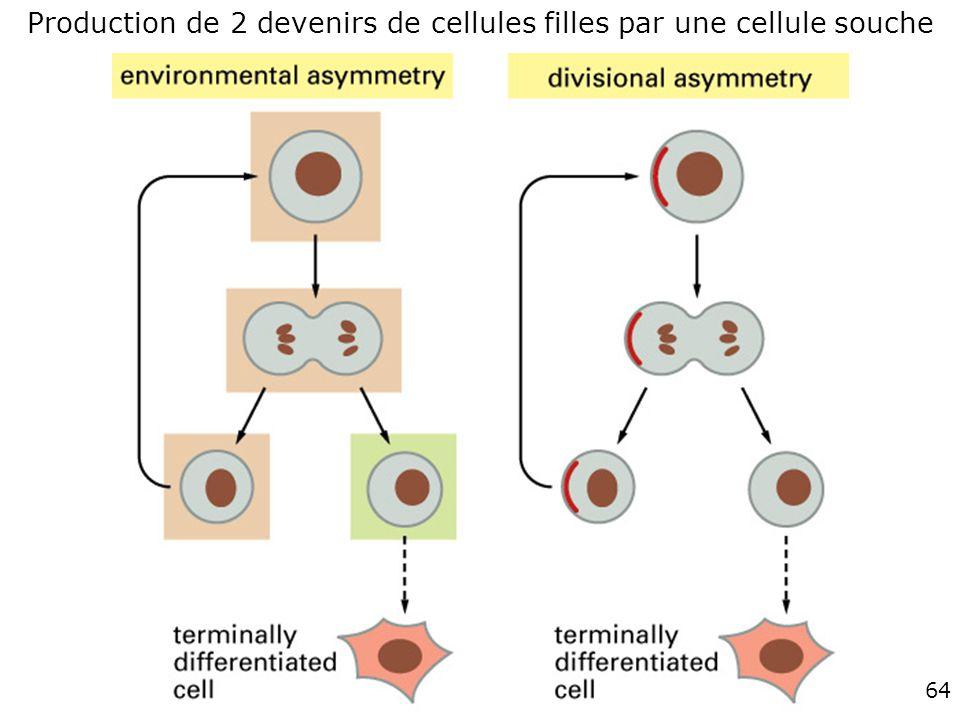 64 Fig 22-5 Production de 2 devenirs de cellules filles par une cellule souche