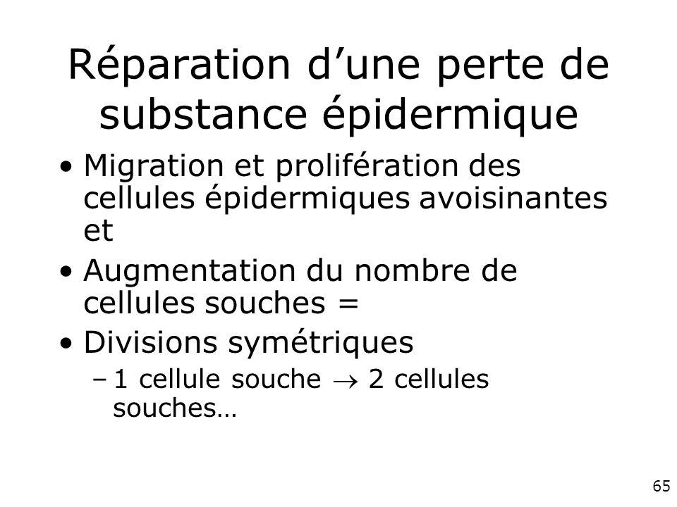 65 Réparation dune perte de substance épidermique Migration et prolifération des cellules épidermiques avoisinantes et Augmentation du nombre de cellules souches = Divisions symétriques –1 cellule souche 2 cellules souches…