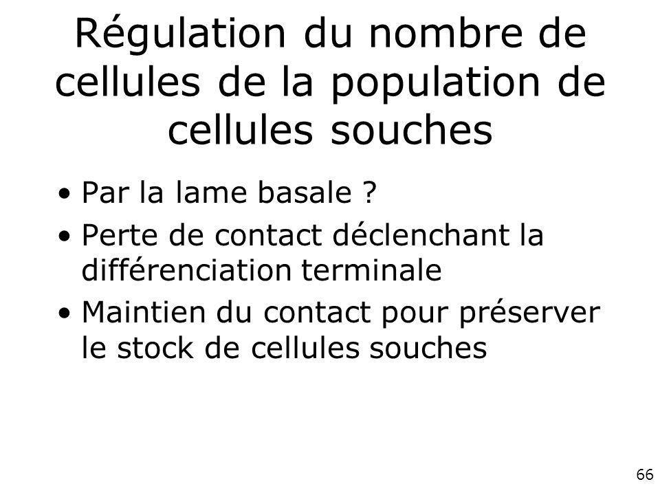 66 Régulation du nombre de cellules de la population de cellules souches Par la lame basale .